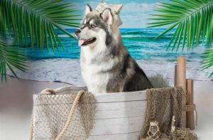 husky in a sailboat with sailors hat and a beach scene behind pet photography pet portrait funny
