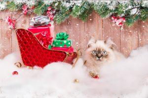 cat blue eyes Christmas photo professional pet portrait