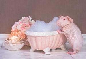 hairless guinea pig budoir shoot award winning photography guinea budoir