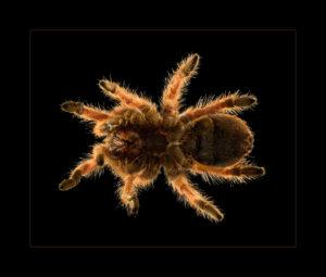 tarantula black backdrop rim lighting orange fuzz pet portrait