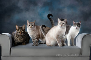 Four cute cats professional pet portrait on gray couch blue background