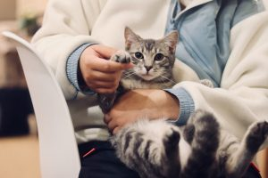 gray cat in the arms of veterinarian